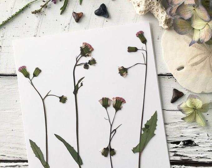 Real Pressed Flowers: Florida Tasselflower Wildflower > Flora's Paintbrush > Dye Free - Biodegradable - Natural Supply
