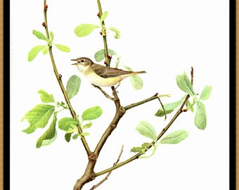 "Warbling Vireo painted by J F Landsdowne for the book Birds of the Eastern Forest2. The page is approx. 9 1/2"" wide and 13"" tall."