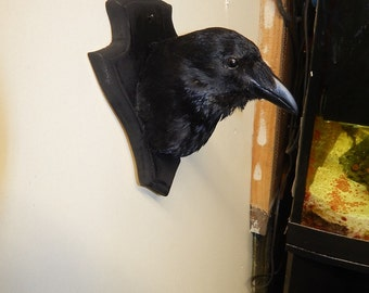 Taxidermy crow head on a black wooden shield, a copy will be made