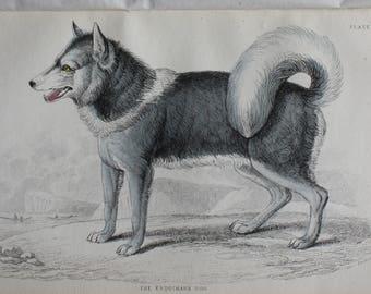 antique engraving of a Husky dog, the esquimaux dog,1840