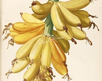 fruits-02683 - Banana musa paradisiaca hybrid acuminata balbisiana banan bunch vintage printable illustration plate picture image book page