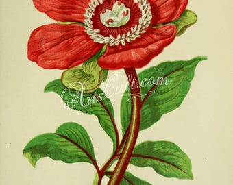 flowers-00967 - Entire leaved Peony - paeonia corallina, red blooming flower vintage old retro floral botanical illustration in jpg format