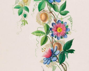 flowers-18104 - passiflora Passion-flower blue red digital illustration large size image picture high resolution book page vintage old retro