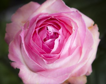 Limited edition Pink Rose photograph