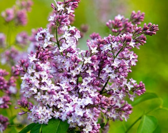 Flower Prints, Flower Photography, Lilac Wall Art, Fine Art Photography, Lilacs, Nature Photography, Pictures of Flowers, Lilac Decor