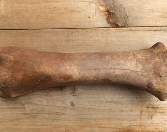 Old Bison Buffalo Bone
