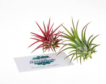 Air Plant Duo Selection | Air Plants Plants for Terrariums | Indoor Air Plants | Plants in Gift Box