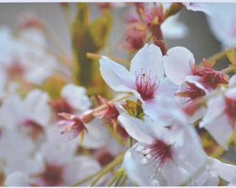 Cherry Blossom - photographic postcard