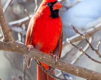 Northern Cardinal Blank Note Card