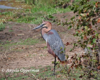 Great Heron Pose // Photography // Birds // Instant Download