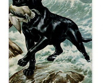 Vintage Dog Illustration Black Labrador Retriever Walter A Weber with Mat Ready to Frame