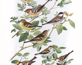 1917 Bird Print - Plate 96 - Warblers - Vintage Antique Art Illustration by Louis Agassiz Fuertes 100 Years Old