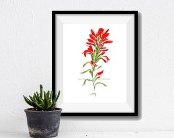 Indian paintbrush watercolor, Indian paintbrush painting, wild flower art, botanical painting, Red, Green, flower watercolor, Wyoming