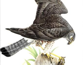 Vintage JF Lansdowne Print Book Plate Art, Marsh Hawk printed in Italy 1968, vintage bird print