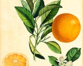 Antique French Botanical Illustration of Orange | Vintage French Botanical Plate A4 Art Print | Archive Quality Home Wall Art Fruits Decor