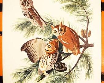 "17""x14"" Audobon Folio Lithograph - Little Screech Owls - Strix Asio - 100% Original - 1950s"