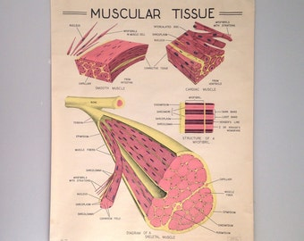 Vintage School Chart, Vintage Medical Chart, 1963 Muscular Tissue Chart, 50x39 Vintage Anatomy, Vintage Science Poster