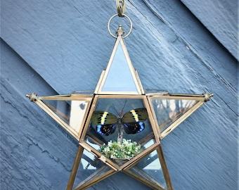 Star Lantern Hanging Display- Real Moth Display-  Eterusia repleta Moth