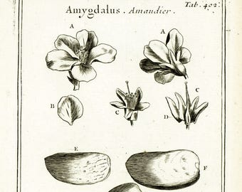 1797 Antique Almond Print Fruit Flower Tree Botanical Natural History Wall Home Decor