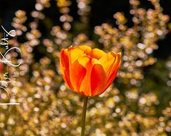 Backlit Tulips A4 Mounted Print
