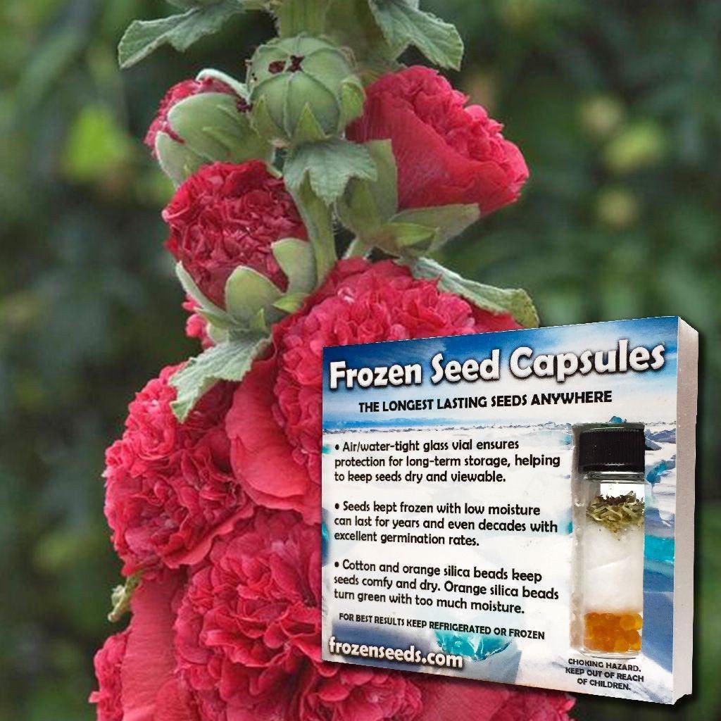 Double Hollyhock Seeds Alcea rosea 40 Rare Medicinal Flower