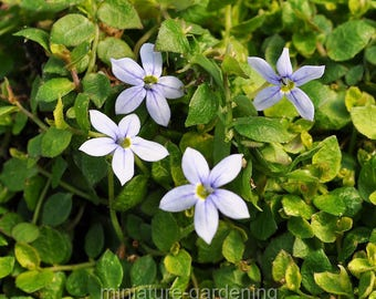 Isotoma fluviatillis, Blue Star Creeper for Miniature Garden, Fairy Garden