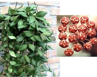 Hoya Bilobata - Starter Plant