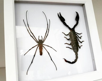 "Large Golden Orb Weaver Spider & a Malaysian Jungle Scorpion showcased in a 9"" wooden box frame"
