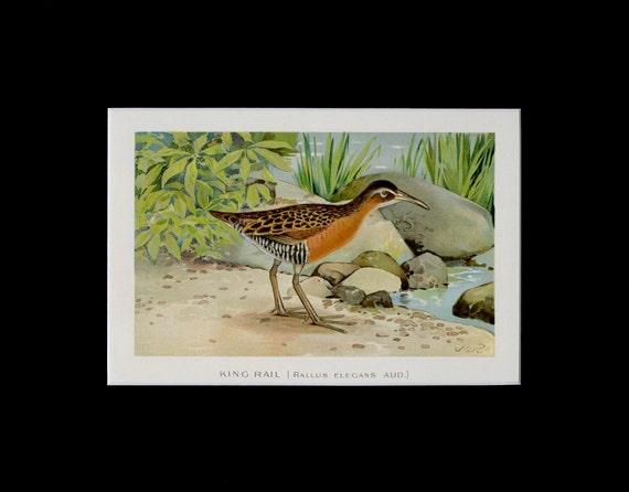 Matted Antique Bird Print King Rail C 1902