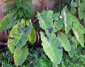 """Mojito"""" Colocasia, Ornamental Taro - 1 potted Plant, Comb Ship"""