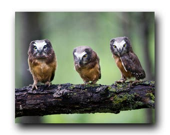 Cute Owl Photo, Owl Print, Nature Print, Fine Art Print, Bird Photography, Wall Art, Cute Owl, Tiny Owl, Adorable, The Three Amigos