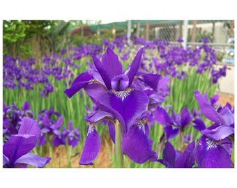 "Caeser's Brother Iris, Siberian Iris, Dark Blue Flowers, 1 Potted Plant 4"" Pot, Perennial, Rebloom, Fragrant, Graceful, Garden, Landscape"