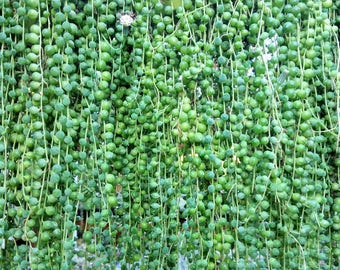 Senecio Rowleyanu String of Pearls and radicans glauca String of Bananas cuttings - Exotic Succulent Plant