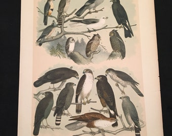 1881 Birds of North America Print - Hawks and Falcons, PLATE: CX Color Lithograph by Jasper