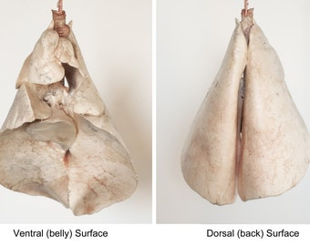 Lung Anatomy, Inflated Sheep Lungs, Anatomical Specimen