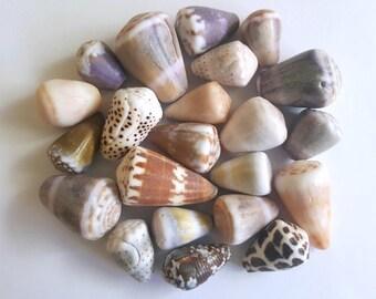 Surf-Tumbled Hawaiian Cone Shells FREE SHIP