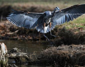 Great Blue Heron #8366