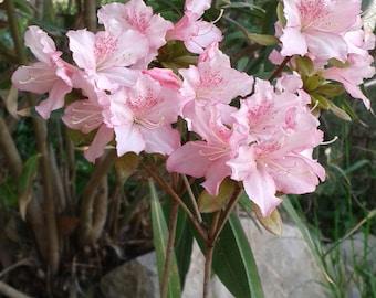 """Azalea bonsai garden or """"Baraggia"""""""