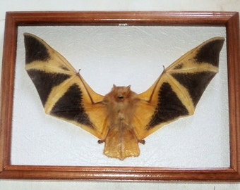 Real Bat in a frame of precious wood.