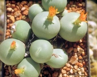Conophytum Succulent Seed Mix