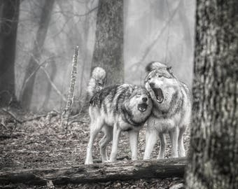 Singing Wolves, Wolves in Nature, Black&White Photography, Wolves, Animal Art, Animal Photography