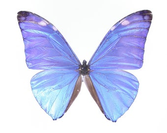 Adonis Butterfly