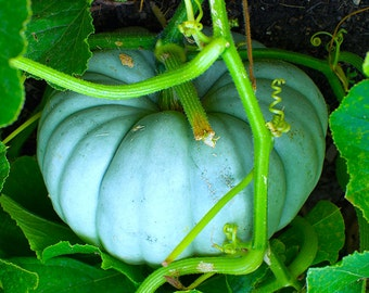 Jarrahdale Blue Pumpkin Squash Organic Non GMO 10 Seeds RARE #1141