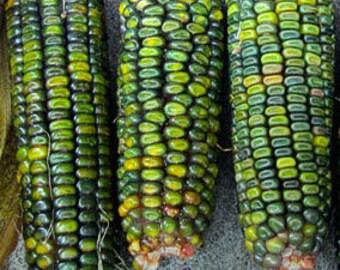 Zea mays Oaxacan Green Dent Corn Organic 30 Seeds #1127