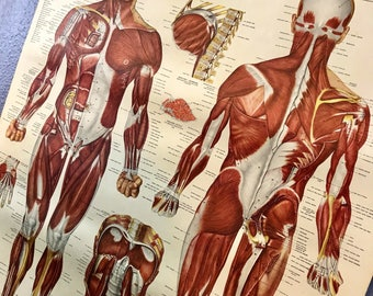 Vintage Medical Muscular System Poster - 1947 Doctor Chart - Pull Down - Muscle Chart Text Book Style anatomy