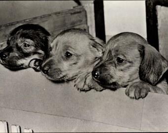 Mint Real Photo Postcard Three Cute DACHSHUND PUPPIES Planet Verlag, Berlin