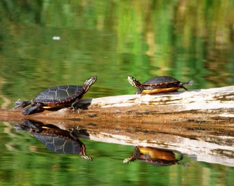 Reflections (Painted Turtles)