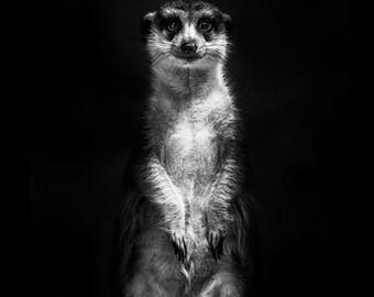 Meerkat - Glossy Print