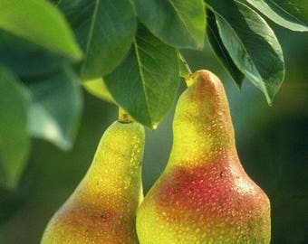 Live 'Kieffer' Pear Trees Grafted 3 to 4 Feet Tall!!!(Produces In Warm Climates)