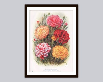 c.1915 CARNATIONS Antique Botanical Print | Dianthus Caryophyllus, Clove Pink | Floral Wall Art | Red & Yellow Blossoms, Garden Flowers